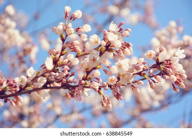 Selective focus on blooming sakura cherry tree branch./ Sakura Cherry Blossoms