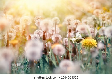 Selective focus on butterfly and dandelion flower - beautiful nature in spring