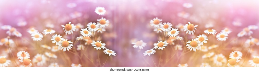 Selective focus on chamomile in meadow lit by sunlight (beautiful spring flowering) - wild chamomile
