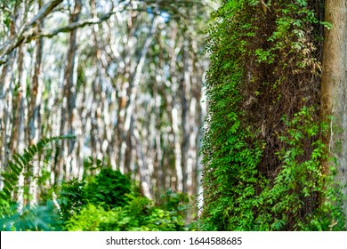 Selective focus on climbing maidenhair fern attached to trunk of tropical paperbark tree. Leaves are young, small, dense green and cling to bark. Bokeh background of Melaleuca forest.