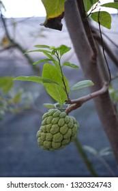 selective focus on custard apple fruit