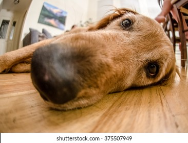 Selective focus on the eyes of a golden retriever lying on a hardwood floor with its nose blurred in foreground