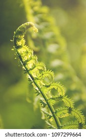 Selective focus on a fern frond unfurling.