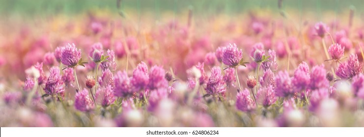 Selective focus on flowering clover, beautiful red clover in meadow (beautiful nature in spring)