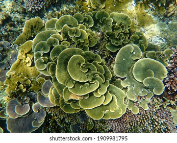 Selective focus on giant cabbage corals with other corals and view on top. Redang Island, Malaysia.