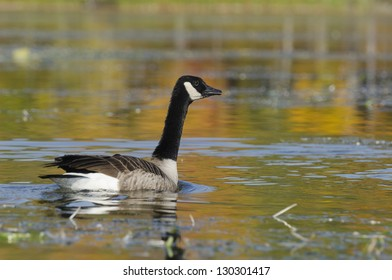 Selective focus on the goose on the tranquil lake with autumn colors from the trees reflecting on the water
