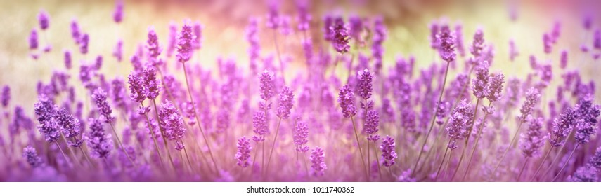 Selective focus on lavender flower, lavender flowers lit by sunlight in flower garden