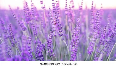 Selective focus on lavender flower in flower garden. Lavender flowers lit by sunlight. Valensole lavender fields, Provence, France.