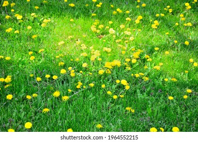 Selective focus on a lawn covered with dandelions and creeping Charlie along with other weeds such as crabgrass and clover.  The lawn is chemical free and natural.  The springtime image is shaded.