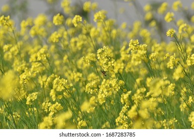 selective focus on a mustard flower in a wide open field with a bee sitting on it
