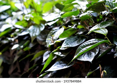 selective focus on Piper betel leaves, commonly consumed in Asia, especially India as betel quid or in paan for tradition