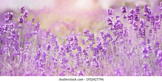 Selective focus on purple lavender flowers on blur background. Lavender field under the sunset in summer at Kawaguchiko Herb Festival, Yagizaki Park, Japan. Pastel colors background. Soft dreamy feel.