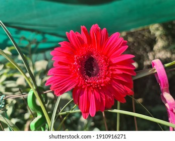 Selective focus on a red gerbera flower with blur background