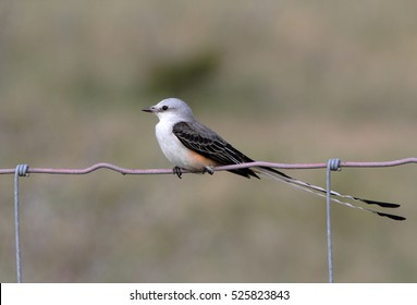 Selective focus on Scissor-tailed Flycatcher perched on fence with soft background.