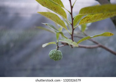 selective focus on a small fresh custard apple fruit on the tree with blur background