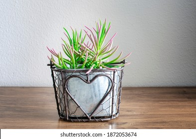 Selective focus on a succulent senecio serpens on a pot.