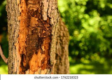 Selective focus on the trails in the trunk of an Ash tree with bark removed showing the damage from the Emerald Ash Borer.  Bokeh area can be used as copy space on the right side of the image.