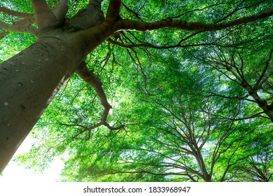 Selective focus on tree. Bottom view of tree trunk to green leaves of big tree in tropical forest with sunlight. Fresh environment in park. Green plant in summer garden. Forest tree with small leaves.