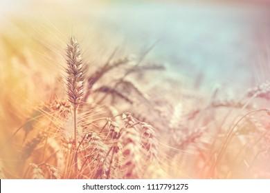 Selective focus on wheat, wheat field, golden grain of wheat lit by sunlight - beautiful crop field