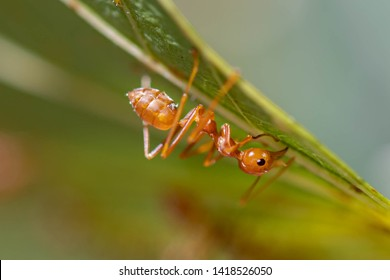 Selective focus of one single Weaver ant or Oecophylla smaragdina (Fabricius) walking on the green leaves, Close Up of red ant working on to building a net.