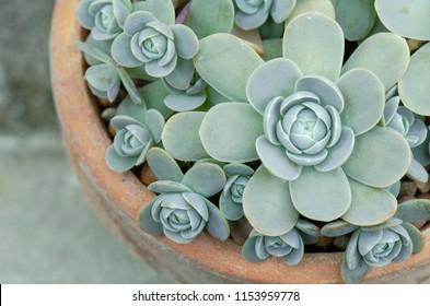 Selective Focus of Orostachys boehmeri – Chinese Dunce Cap ,Succulent Houseplant in clay pot Back ground