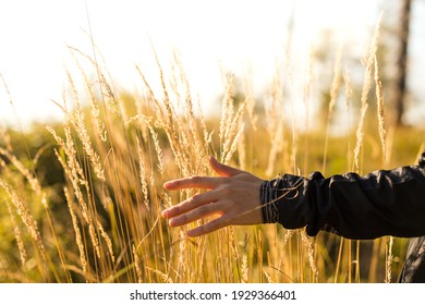 A selective focus of a person walking in the field touching the growing golden wheat plants