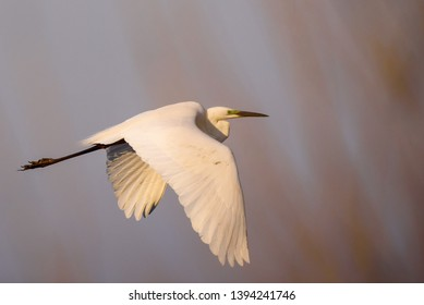 Selective focus photo.  The great egret (Ardea alba). Also known as common egret and large egret, flying over lake before sunset.