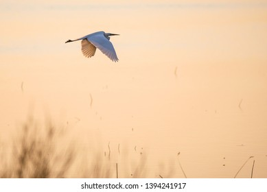 Selective focus photo.  The great egret (Ardea alba). Also known as common egret and large egret, flying over lake during sunset.