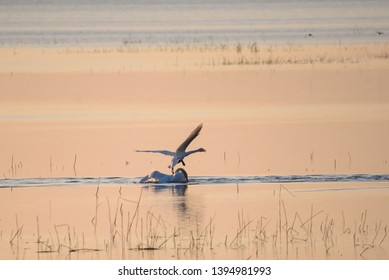 Selective focus photo. Two whooper swans (Cygnus cygnus) in lake, during sunset.