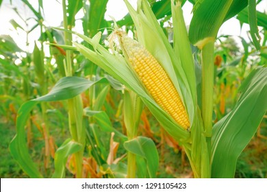 A selective focus picture of corn cob at organic corn field.