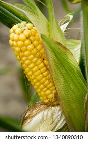 A selective focus picture of corn cob at organic corn field. - Image