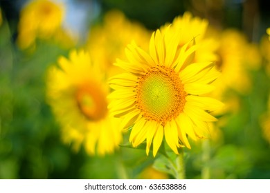 a selective focus picture of corolla disk organic sunflower in agriculture field