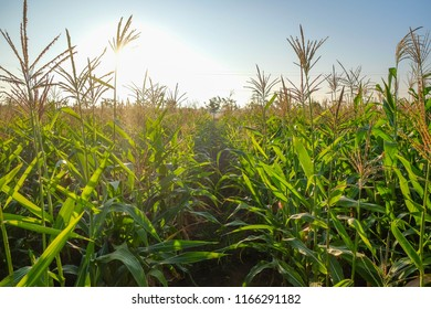 A selective focus picture of organic corn field at agriculture farm in the evening sunset.