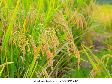 a selective focus picture of paddy rice in organic rice field