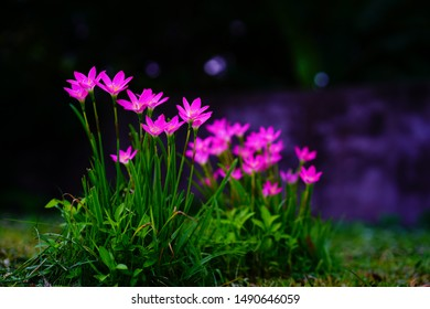 Selective focus Pink flower Zephyranthes grandiflora,,Zephyranthes grandiflora,,beautiful purple rain lily flower. - Shutterstock ID 1490646059