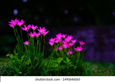 Selective focus Pink flower Zephyranthes grandiflora,,Zephyranthes grandiflora,,beautiful purple rain lily flower. - Shutterstock ID 1490646065