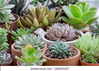 Selective Focus of Pink and Green Echeveria Sedum Succulent Flowering Houseplant Pots Mini Garden Background