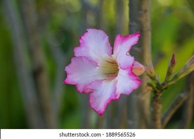 Selective focus pink and white Adenium obesum flower in a garden.Common names include Sabi star, kudu, mock azalea, impala lily and desert rose.