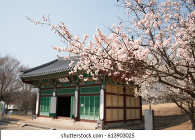 Selective focus Plum Blossoms Close Up,Cherry Blossom in Spring behind of korean tradition