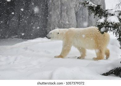 Selective focus The polar bear in snow.