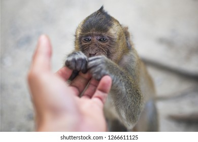 (Selective focus) Portrait of a young macaque monkey who is holding his paw on the hand of a tourist. Galta Ji Jaipur Monkey Temple, India.