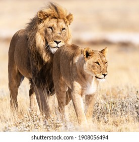A selective focus of a powerful and majestic couple of a lion and a lioness walking in the wild