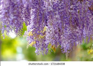 Selective focus of purple flowers Wisteria sinensis or Blue rain, Chinese wisteria is species of flowering plant in the pea family, Its twisting stems and masses of scented flowers in hanging racemes.
