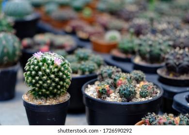 selective focus of Rebutia cactus with pink flower decorate In cactus garden
