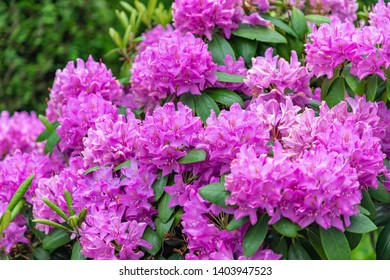 Selective focus of Rhododendron blooming in the garden, Branches of purple flowers are blossom in the park, A shrub or small tree of the heath family, Nature floral background.