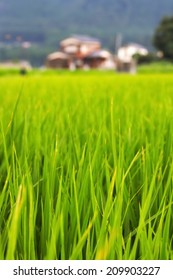 Selective focus rice field in Japan for use as a background