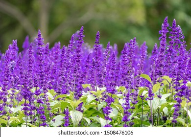 Selective focus of Salvia farinacea blue in the garden, Beautiful colorful purple flowers plant of Victoria blue (Mealy Cup Sage) Nature flora background.