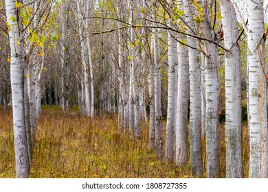 Selective focus and shallow depth of field of November poplar tree rows at Zlato Pole or Gold Field Protected Area, Municipality of Dimitrovgrad,Haskovo Province, Bulgaria - Shutterstock ID 1808727355