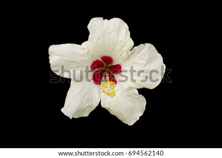 Selective focus of The shoe flower or china rose ,Genus Hibiscus on black background.
