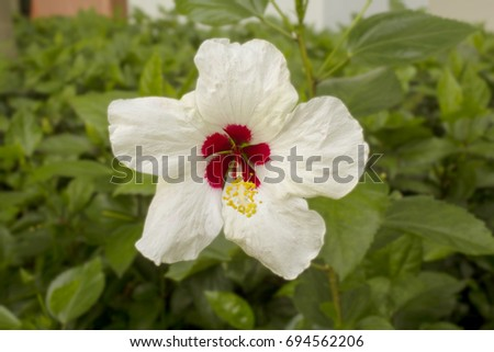 Selective focus of The shoe flower or china rose, Genus Hibiscus on blur nature garden background.